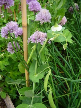Early bloomers, peas and chives can take a late frost.