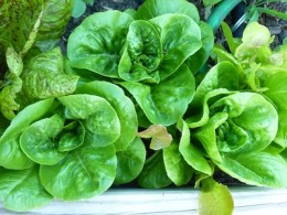 Thin crowded baby lettuces. Use the thinnings for early salads.