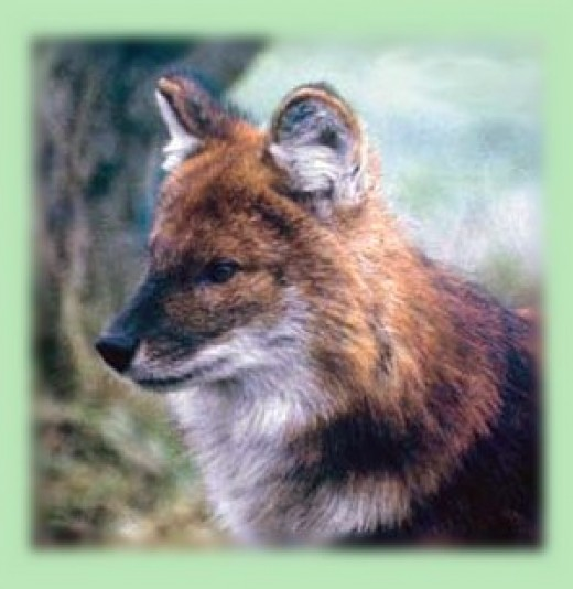 A Dhole, one of the Chousingha's predators.