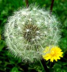 Allowing the dandelions to go to seed will  ensure a great crop next year too.