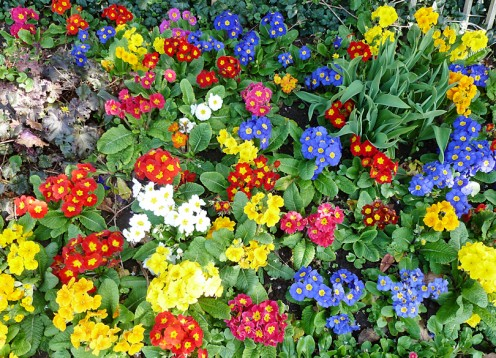 A group of Polyanthus makes a colourful border