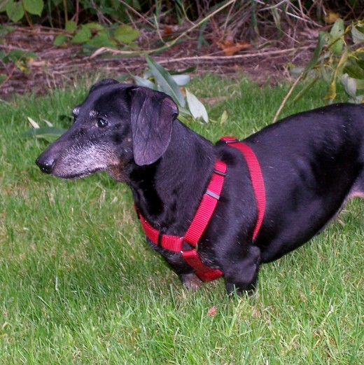 This is a picture of Charlie when he was getting up there in years.  He is the Dachshund that owned me for 14 years.  He was a joy beyond words!