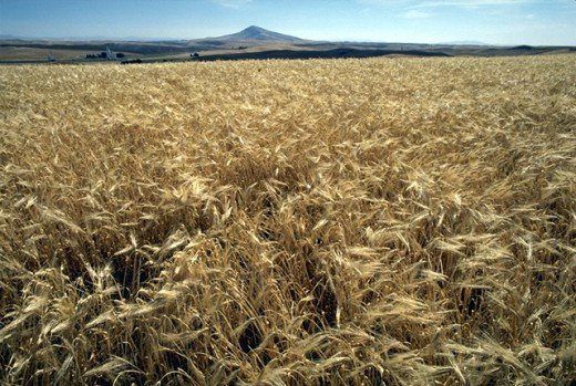 This field of barley is sustained entirely by irrigation in the form of water pumped from rivers or lakes.