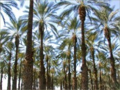 Facts about the Date Palm Tree - Description and Uses