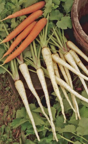 Parsnip resembles carrot in form