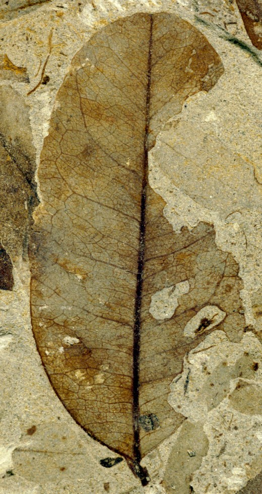 Fossilized leaf chewed by insects during the Paleocene-Eocene Thermal Maximum