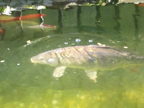 Mirror carp basking in bright sunlight