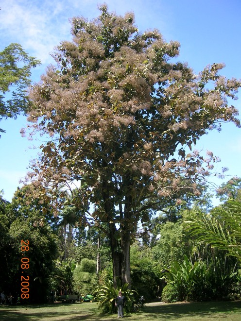 A Typical Teak Tree