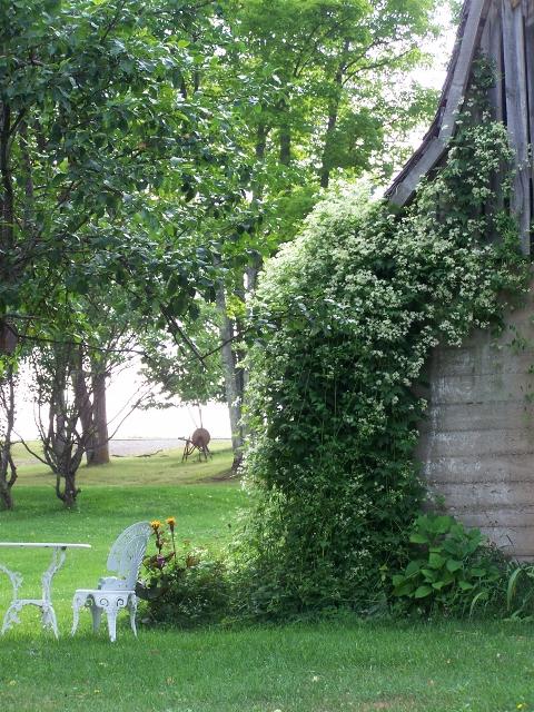 My Beautiful Country Garden Virgin's-bower (Clematis virginiana)