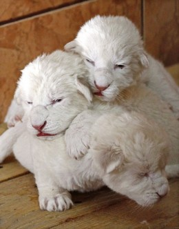 Day old white Lion cubs lie next to their mother Sumba in their enclosure at Belgrade's Zoo in Serbia. The newborns are extremely rare subspecies of the African Lion. A day old and they have become an instant sensation and the zoo's greatest attracti