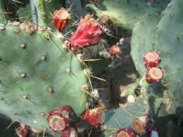 Cactus's in Ethel M's Cactus Garden