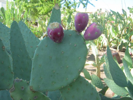 """Prickly Pear"" cactus's, I've been told that these are edible, but have never tried them!"