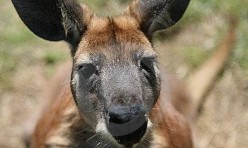 A red kangaroo
