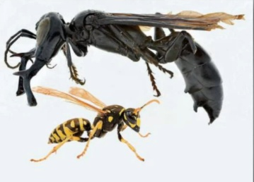 As you can see the Komodo Dragon Wasp dwarfs the Yellow Jacket in size. It is over two inches in length and its jaws are bigger than it's front legs!