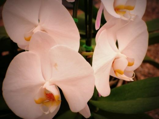 "Phalaenopsis ""Princess Chulabhorn"""