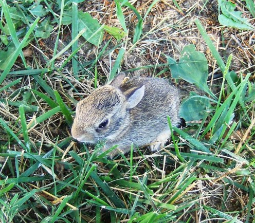This Little Bunny came out of its hole and the cat was there and the bunny thought it was its mother... they seemed quite content laying together