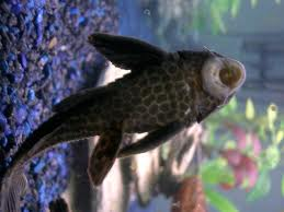 Plecostomus. Aka pleco, aka sucker fish. They eat algae and grodies. And sometimes cucumber ^_^