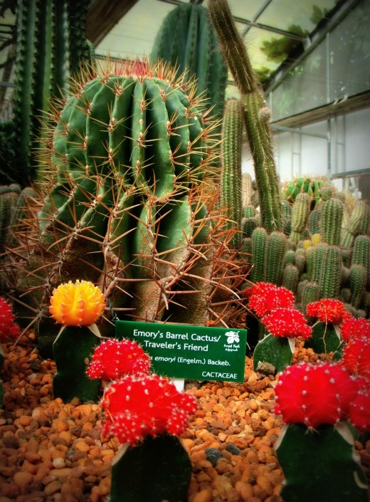Emory's Barrel Cactus/ Traveler's Friend