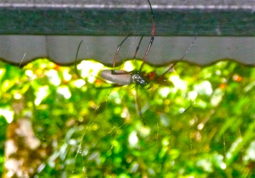 The Golden Orb spider is massive, but not at all dangerous.