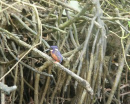 A kingfisher on the banks of the Daintree River