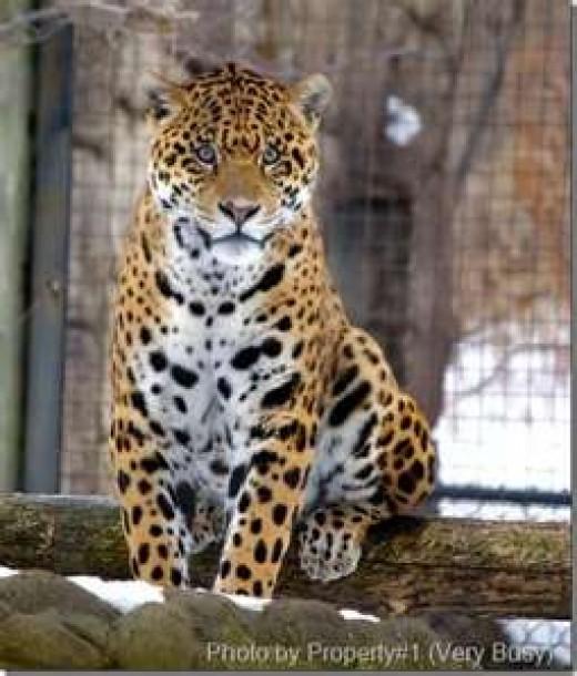 My Jaguar Lover