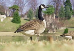 Side view of Canada goose