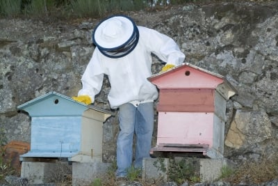 Beekeepers strategically place hives around Manuka Trees.