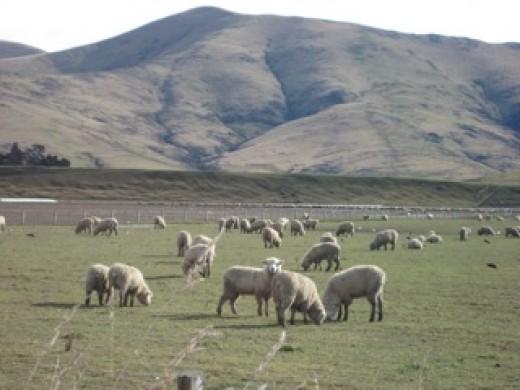 Sheep in a farm near Queenstown