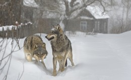 Grey Wolves were once rare in the Chernobyl area, now there are more than 200 of them.