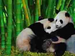 Pandas enjoying the world's tallest grass - bamboo