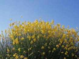 This yellow flower is used to make a reddish colored oil and dye.  The reeds of the flower are soaked in water into tiny strands which are used to make rope and weave sacks.
