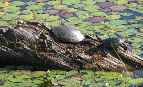 Female and juvenile Midland Painted Turtles (Chrysemys picta marginata) basking in Algonquin Provincial Park, Ontario, Canada