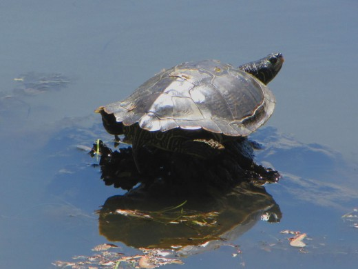 Northern Map Turtle (Graptemys geographica), Ottawa, Ontario, Canada