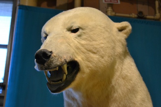 This Polar Bear is Mad!