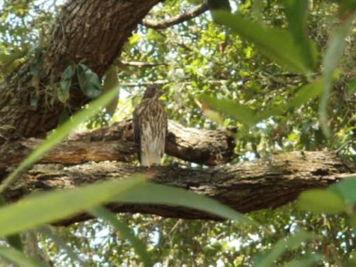 Hawk resting in Oak tree by the side of my house.