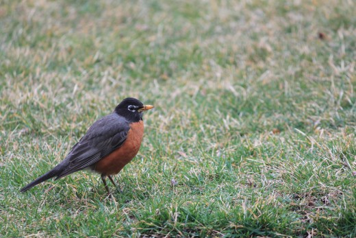 a sign of spring! a robin looking for worms in the front yard 3/16/12
