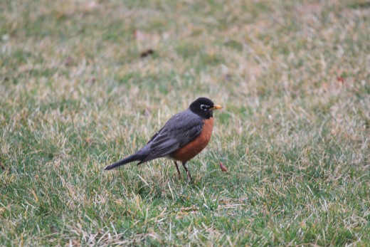 Spring Robin walking through the front yard 3/16/12