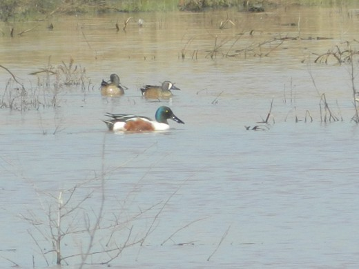 Northern Shoveler with Ruddy Ducks