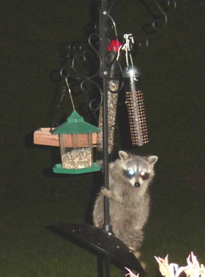 Maybe this Raccoon should take up Blogging!