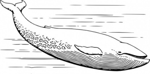 Blue Whale Coloring Page. Click to enlarge, and print.