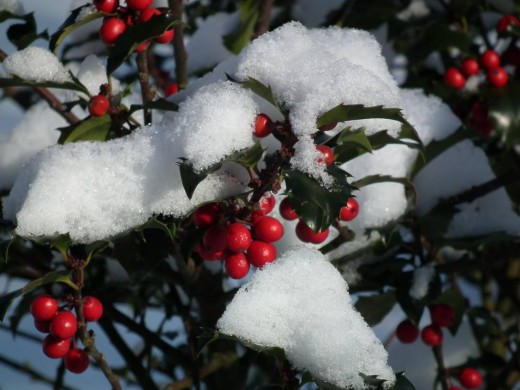 Snow on a holly bush