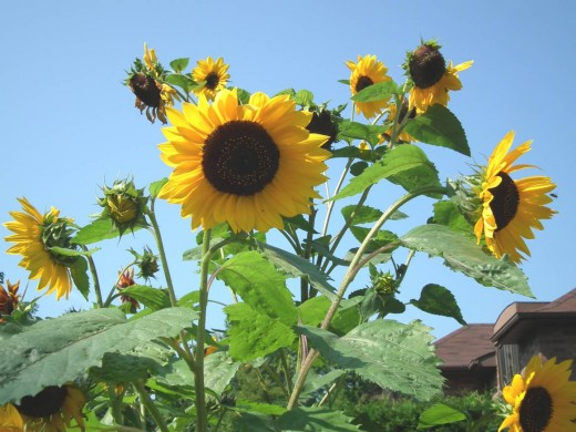 Sunflowers in my Garden