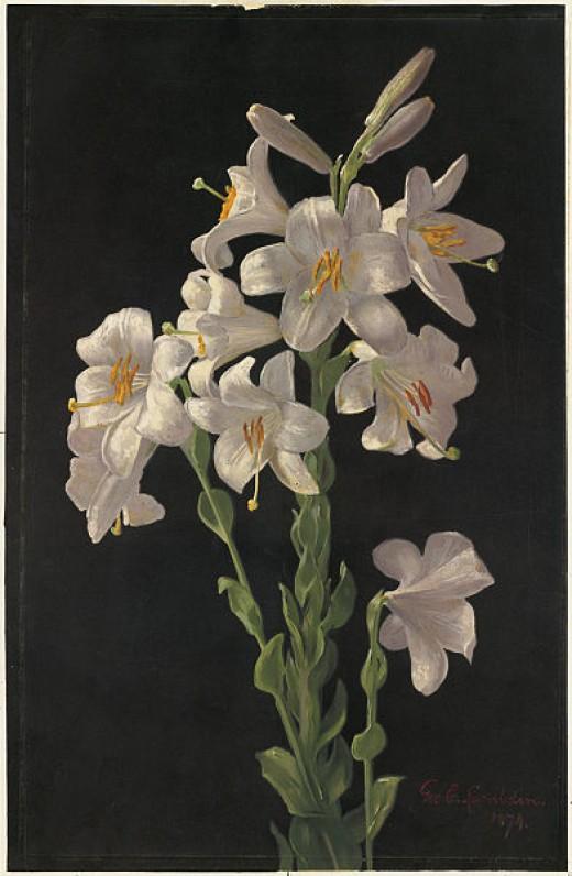 Beautiful Easter Lily artwork by George Cochran Lambdin.