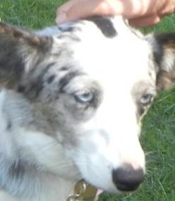 Vitiligo in Dogs