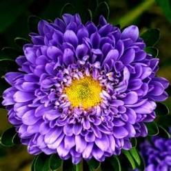 Growing and Caring for Aster Flowers