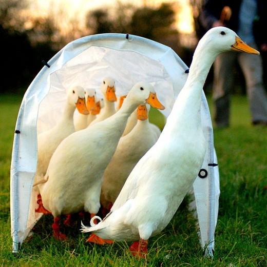 Free Range Ducks