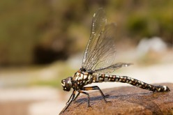 What can you tell me about Dragon Flies? What are they exactly?
