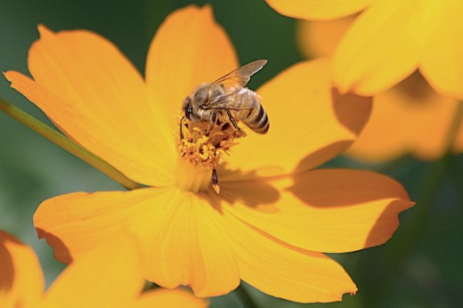 Honeybees - Why Are They Disappearing? | HubPages