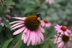 Bees in one of my flower gardens.