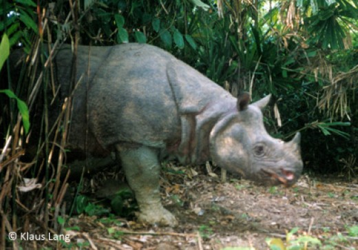 one of the last shots of a Javan Rhino in Vietnam. The last one was killed by poachers.